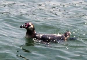 みつかったフンボルトペンギン!!かなりマッチョにそだってたらしい・・。