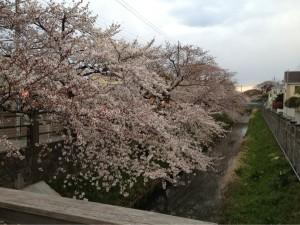 市川の桜!その①