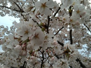 市川の桜その②