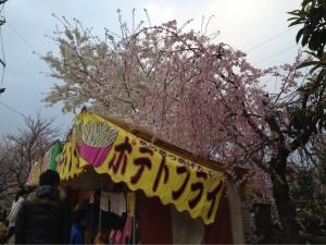 市川の桜その③
