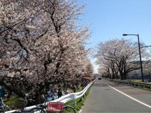 江戸川の桜その①