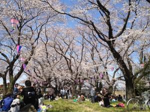 江戸川の桜その②