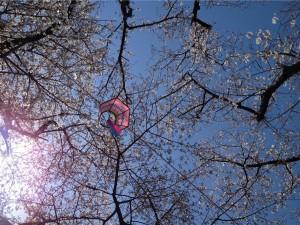 江戸川の桜その③