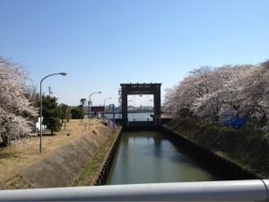 江戸川の桜その⑤